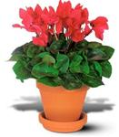 Cyclamen Plant in Clay Pot