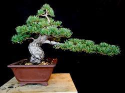 Japanese White Pine (Pinus Parviflora)