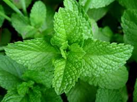 Hint of Mint - Regular E-Liquid/E-Juice