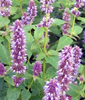 Anise Hyssop (100% natural, grown without chemicals)