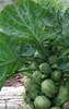 Brussels Sprouts Early Half Tall (100% natural, grown without chemicals)