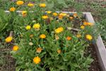 Medicinal Calendula (orange flowers)