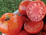 Italian Heirloom Slicing Tomato