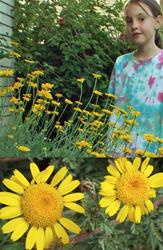 Marguerite Kelwayi Perennial Yellow Daisies (Yellow Dyer's Chamomile)