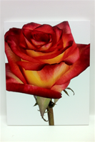 Rose Bicolor Red/yellow