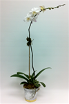 Phalaenopsis Orchid in Tin Container