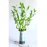 "LUCKY BAMBOO STALK SIZE: 12"" spiral curly"