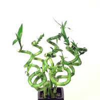 "LUCKY BAMBOO STALK SIZE: 6""-8"" spiral curly"