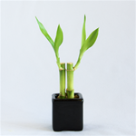 Mini Nature Gardens Double bamboo arrangement