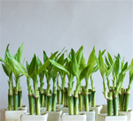 "LUCKY BAMBOO STALK SIZE: 4"" straight"