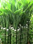 "LUCKY BAMBOO STALK SIZE: 24"" straight"