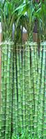 "LUCKY BAMBOO STALK SIZE: 48"" straight"