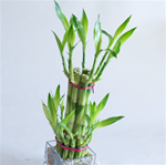 "LUCKY BAMBOO STALK SIZE: 10"" straight"