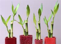 "LUCKY BAMBOO STALK SIZE: 6"" straight"
