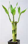 "LUCKY BAMBOO STALK SIZE: 8"" straight"