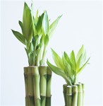 "LUCKY BAMBOO STALK SIZE: 12"" straight"
