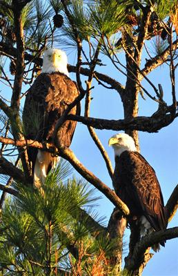 Bald Eagles - I'm Spotted