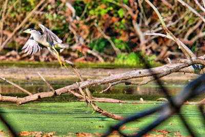 Black-Crowned Night Heron #1