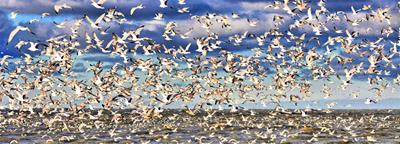 Gull Panoramic