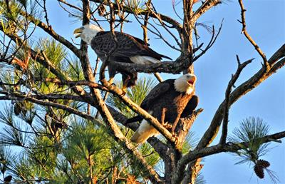 Bald Eagles - Call