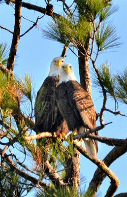 Bald Eagles - Staring Contest