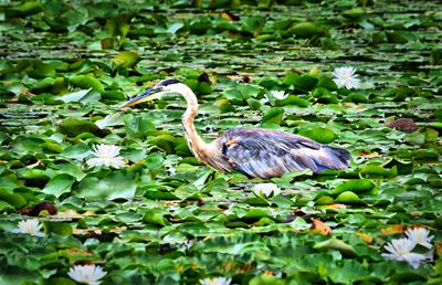 Blue Heron & Green
