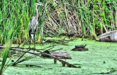 Blue Heron & Friends