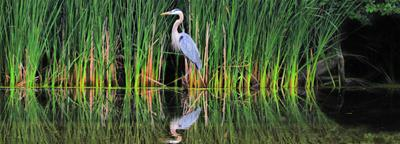 Great Blue Heron & Reeds Panoramic