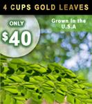 4 Cups of Moringa Light Energy Gold Leaves