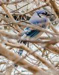 Winter Birds--Blue Jay 8x10