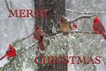 5 Cardinals in the Snow Christmas cards  Packet of 15