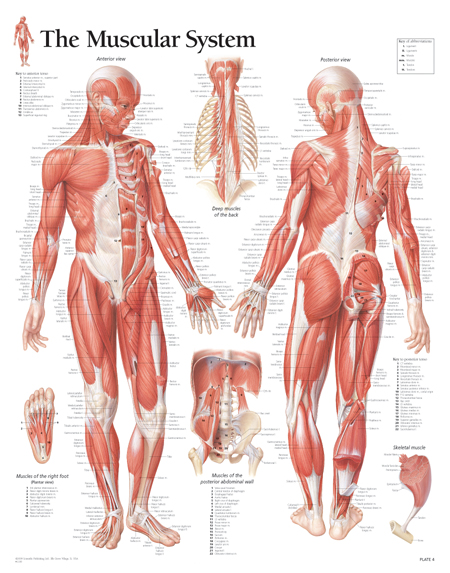 Male Muscular System / Paper - Scientific Publishing