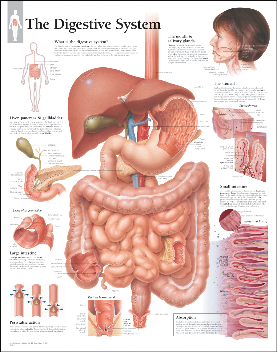 Digestive System / Laminated - Scientific Publishing