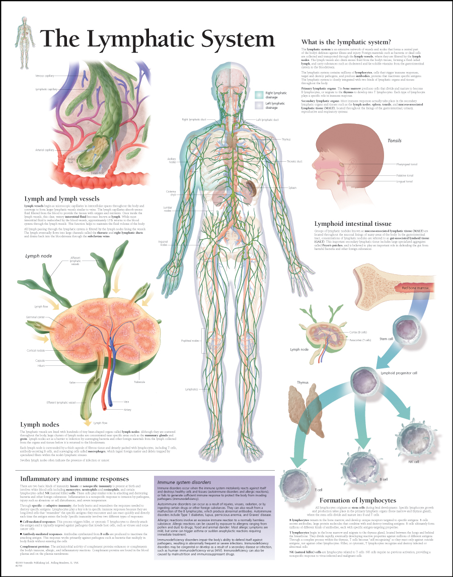 The Lymphatic System / Paper - Scientific Publishing