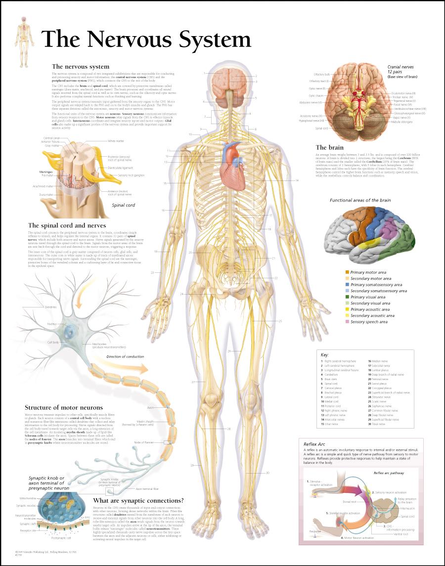 The Nervous System / Paper - Scientific Publishing