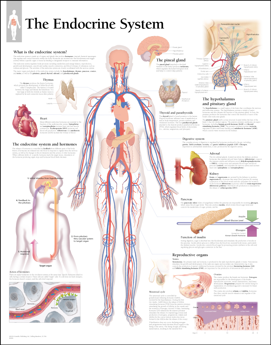 The endocrine system paper scientific publishing the endocrine system paper ccuart Choice Image