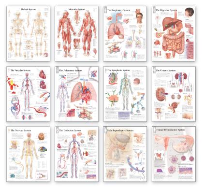 complete body system chart set / laminated - scientific publishing, Cephalic Vein