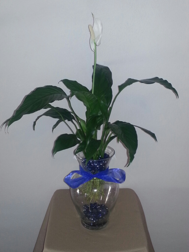 10 5 inch betta vase aquarium with peace lily plant blue for Plants for betta fish vase