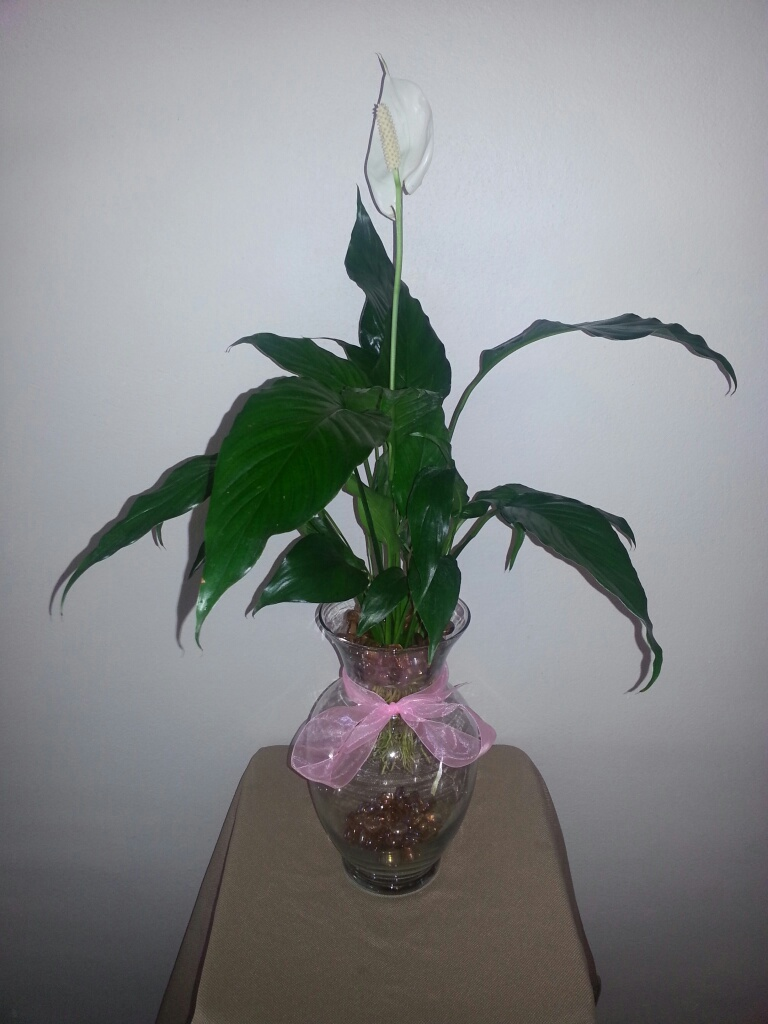 10 5 inch betta vase aquarium with peace lily plant pink for Peace lily betta fish