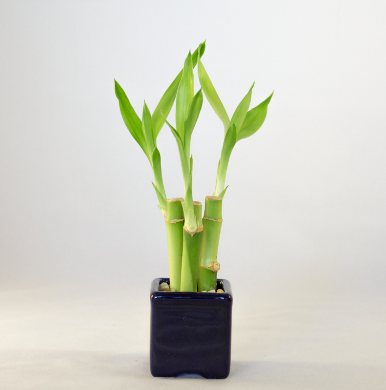 Mini Bamboo Plant : Mini nature gardens triple bamboo arrangement perfect