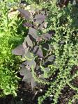 Vernal Red Orach
