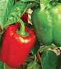 Bell Pepper, California Wonder (100% natural, grown without chemicals)