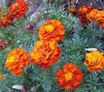 French Marigolds (yellow/red color mix)