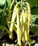 Gold Rush Bush Bean