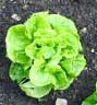 Tom Thumb Butterhead Lettuce