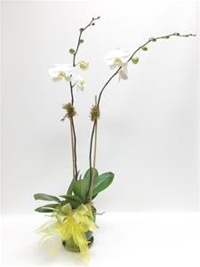 2 Phalapenopsis Orchid Plants
