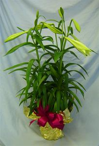 "Easter Lilies 8"" Plant"
