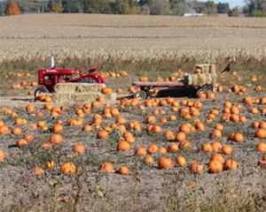 A pumpkin patch sits next to ripe cornfields, containing a vintage tractor, hay bales, and crows