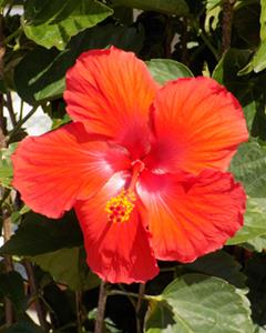 A tropical orange hibiscus flower sits amid green foliage