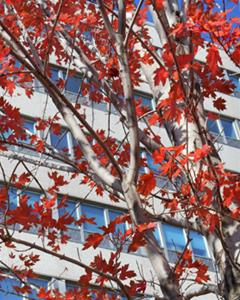 Red autumn leaves adorn a white tree in front of an office building with gray cement and blue glass walls